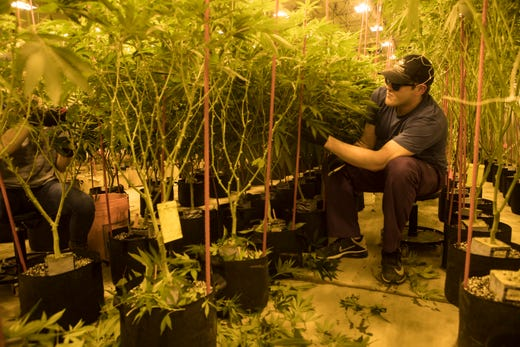 Cultivation technician Zach Lee prunes marijuana plants Thursday at  Compassionate Care Research Institute in Newark. e5dbd910f378