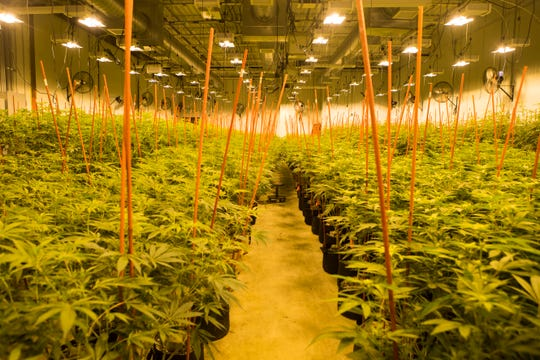 Marijuana plants sit in one of the three  grow rooms which have lights designed to replicate sunlight in a climate-controlled space at Compassionate Care Research Institute in Newark, Del.