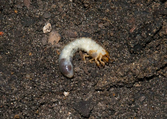 The short version of the life cycle is that the June bugs (adult form of the larval white grub worms) emerge, fly and mate in late spring and early summer. The small grubs hatch in mid-summer, and that's the reason for the treatment at that time.