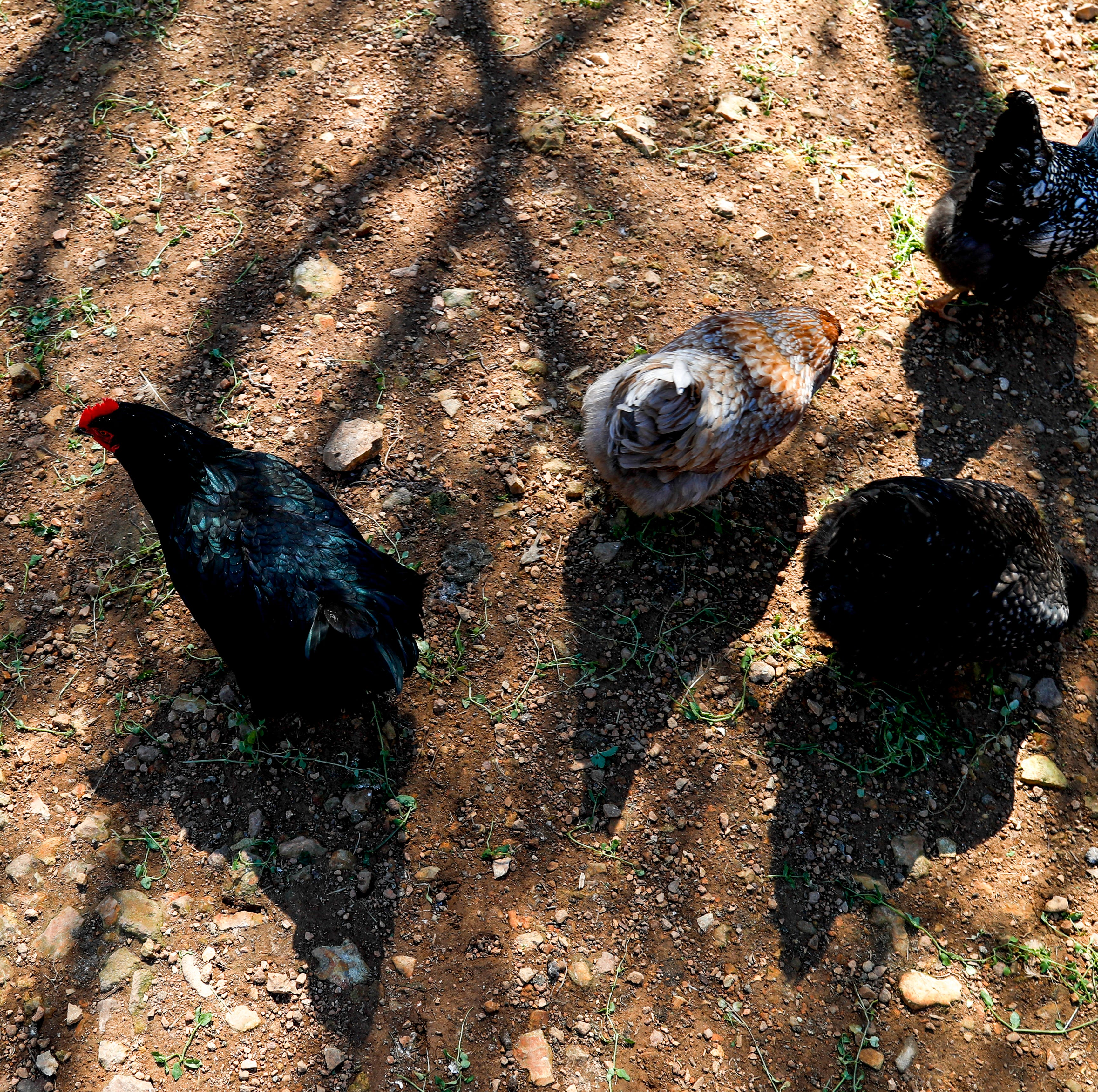 Backyard chicken coops going under review in Montgomery County