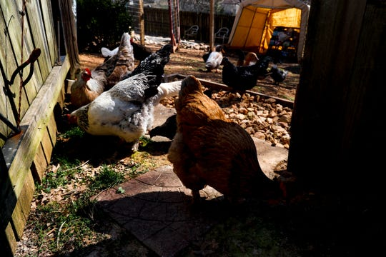 Chickens in the small flock of Shawna Lund peck at weeds in the grass right outside of their gated area in the backyard at Lund's home in Clarksville, Tenn., on Wednesday, March 6, 2019.