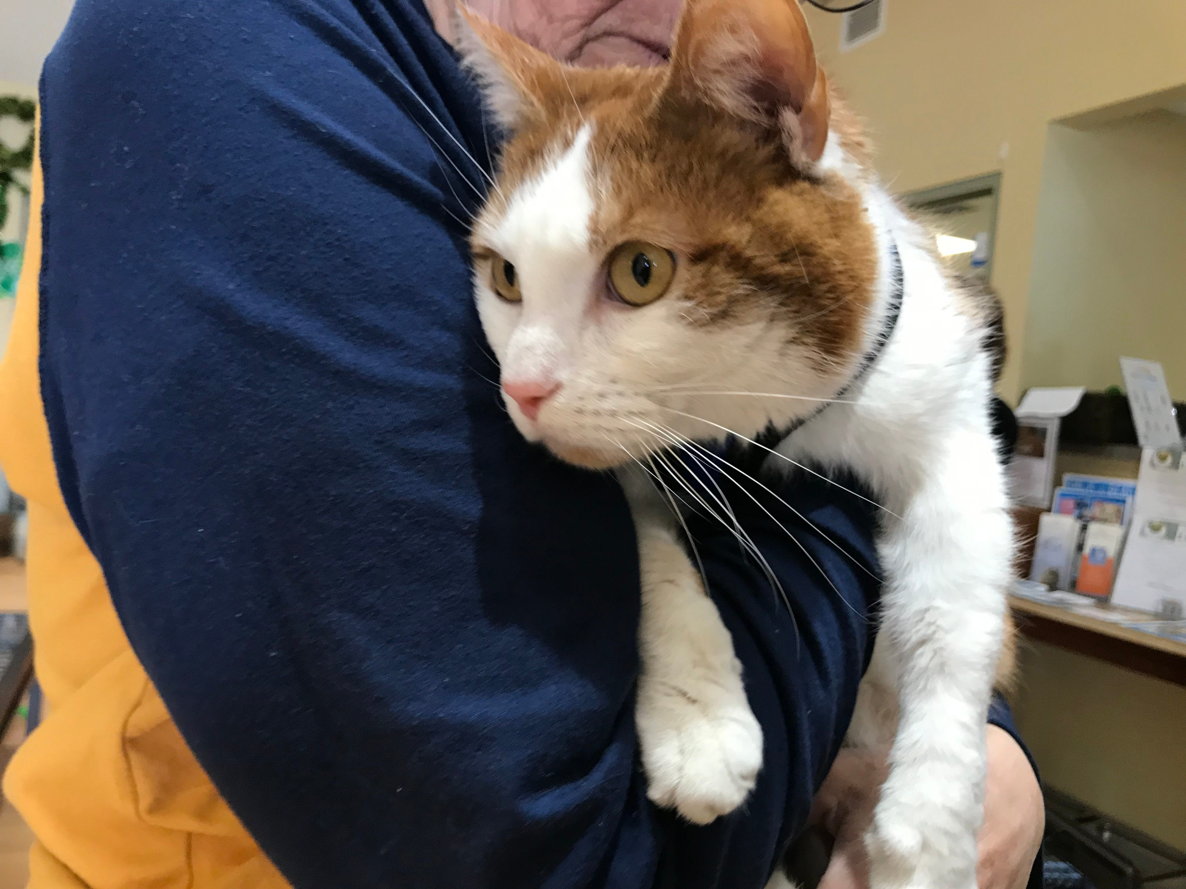 """Tabby's Place, a cage-free, no-kill cat sanctuary located on Route 202 in Flemington, opened its doors 15 years ago to rescue cats from """"hopeless situations."""" Tabby's Place recently launched """"Aged to Purrfection,"""" a pet therapy program that  brings cats to assisted living facilities."""