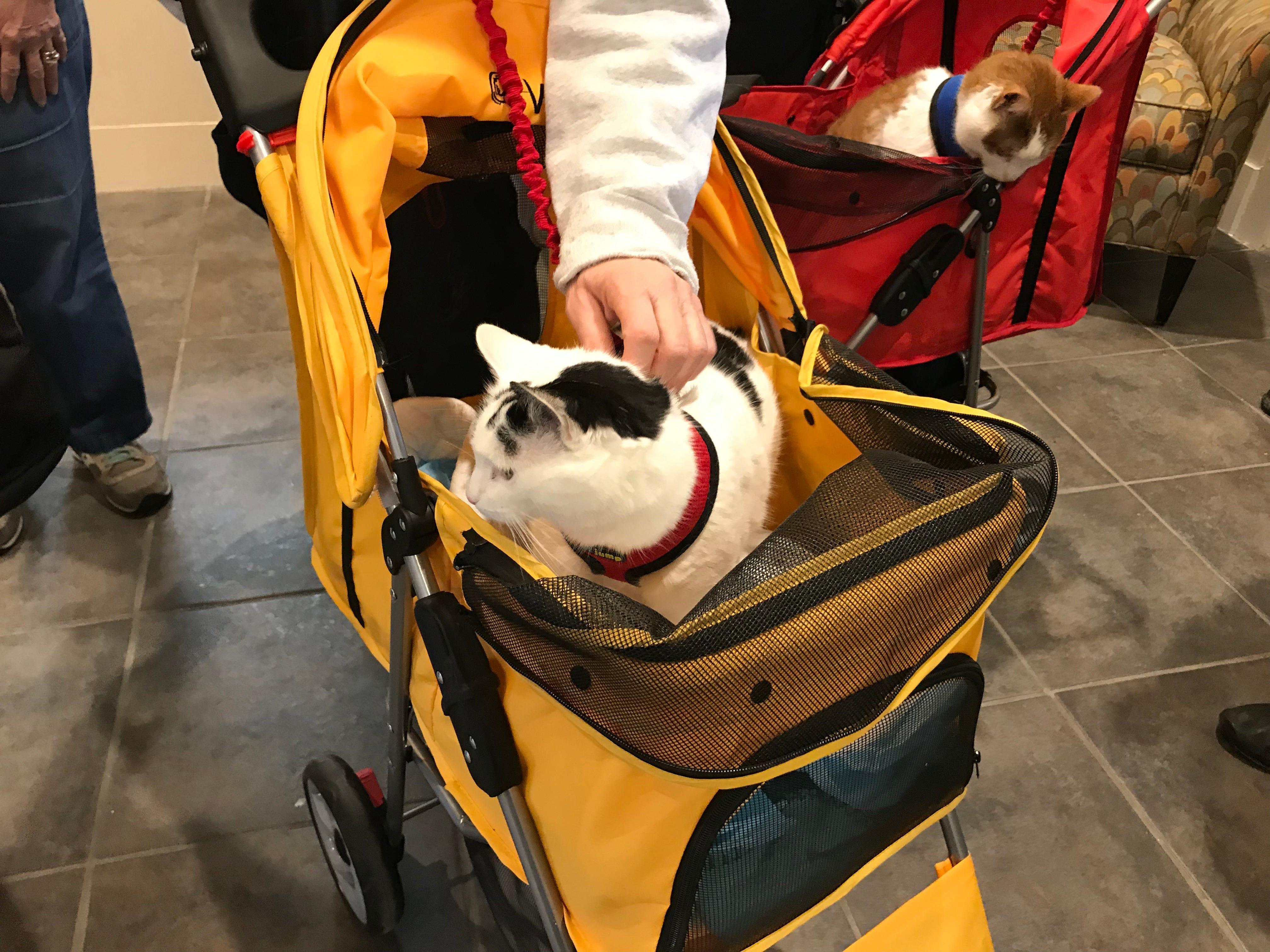 """Frequent guests to Independence Manor in Flemington and a few other local nursing homes, Rose and Carrot  belong to a special traveling troupe of cats — all a part of """"Aged to Purrfection,"""" a new pet therapy program from Tabby's Place, a cat sanctuary in Flemington."""