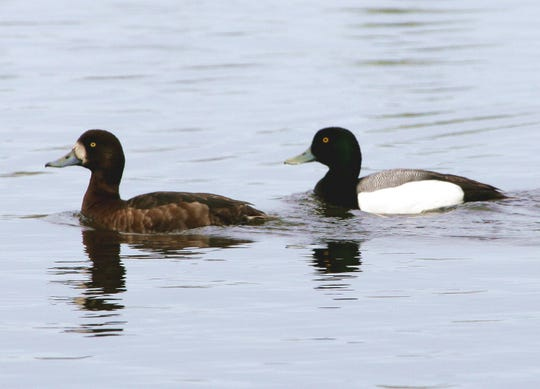 This spring, the DNR will band scaup. It's important to band scaup in late winter/early spring before they head to northern Canada and Alaska to breed.