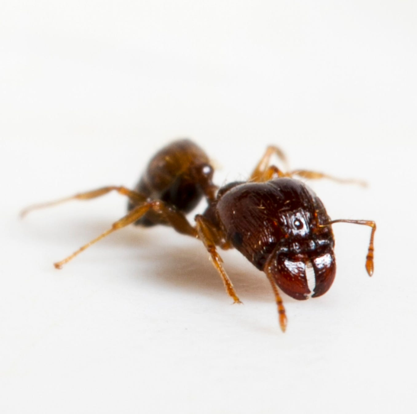 Step aside, fire ants, there's a new, big-headed, six-legged female sheriff in town