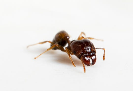 """Bigheaded ants are listed in the top 100 of the """"World's Worst Invaders"""" and probably came to the U.S. on cargo ships and now pose a danger to Florida's native insects."""