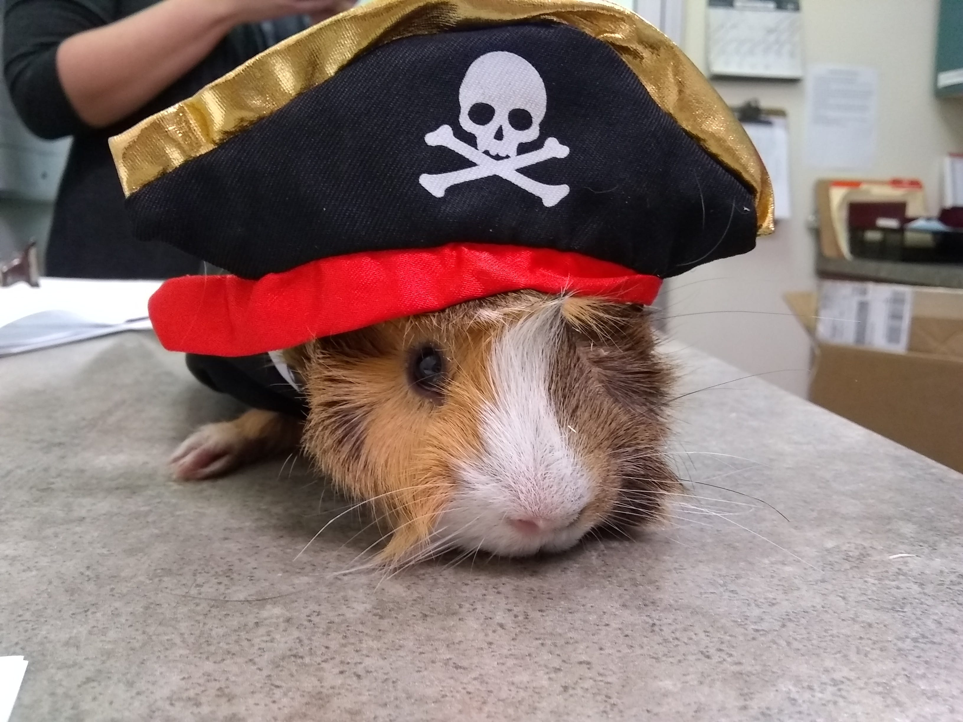 Joey Janella, a 9-month-old Guinea pig, is hoping to find a forever home with his brother, Chris Jericho.