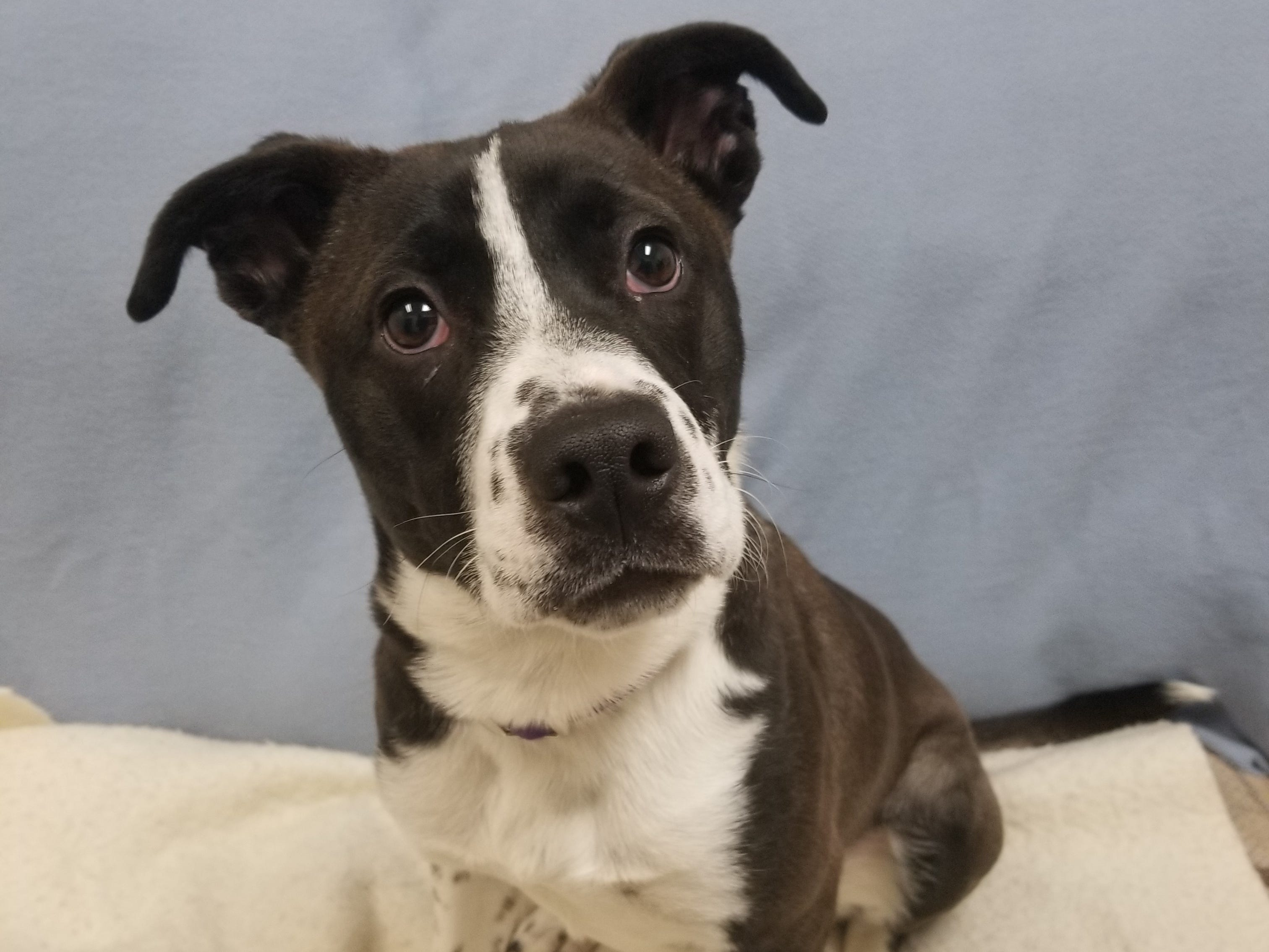 Iola, a 10-month-old mixed breed, loves to cuddle and be pet. She is spayed.