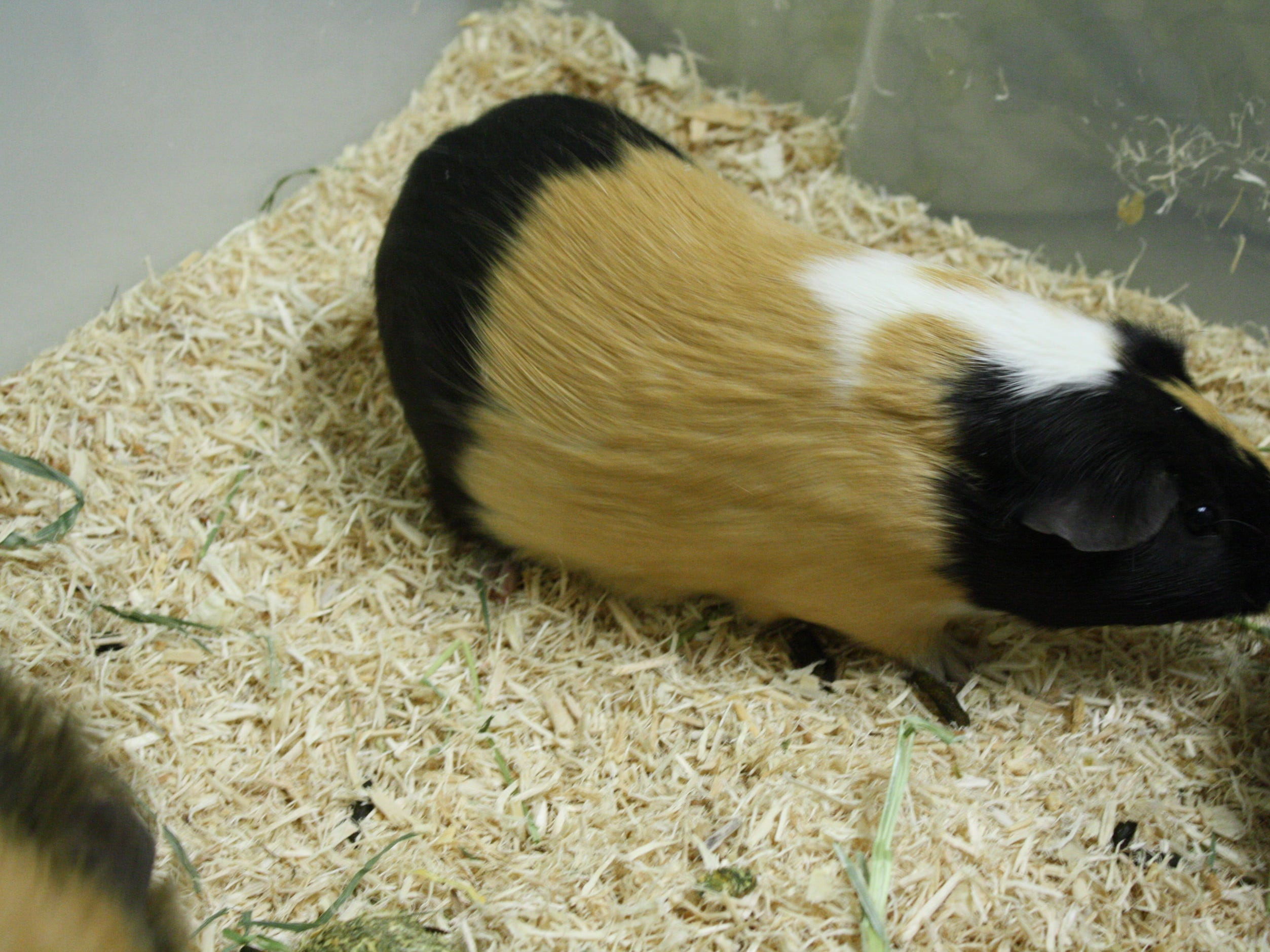Chris Jericho, a 9-month-old Guinea pig, loves to be held and wants a home with his brother, Joey Janella.