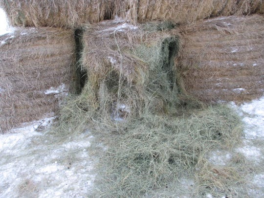 In a hard winter deer searching for food can destroy haystacks.