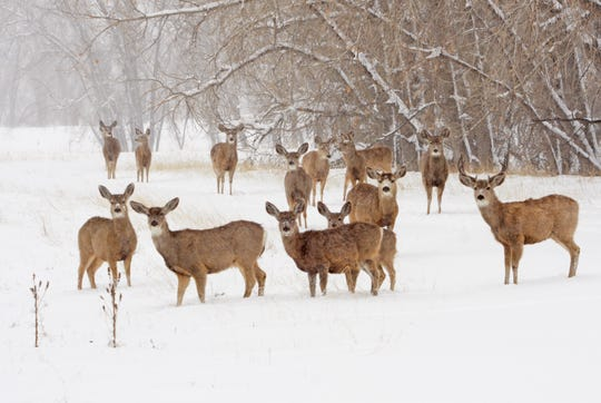 Mule deer in winter will wear a thicker coat of hair, reduce their metabolism and rely on stored body fat