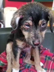 """An eight-week-old puppy burnt """"to a crisp"""" with chemicals was found in a garbage bag in Newport."""