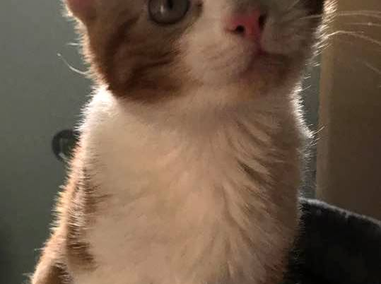 Buddy is a 5-month-old orange tabby. He is talkative, loving and attached to your hip. Come see him and our other kitties at our adoption fairs 12-6 p.m. Saturday and 1-6 p.m. Sunday at PetSmart, 214 Morrell Road. All are spayed or neutered, vaccinated, tested for FIV & FeLV, and microchipped. See our adoptable cats and adoption application at www.feralfelinefriends.org.