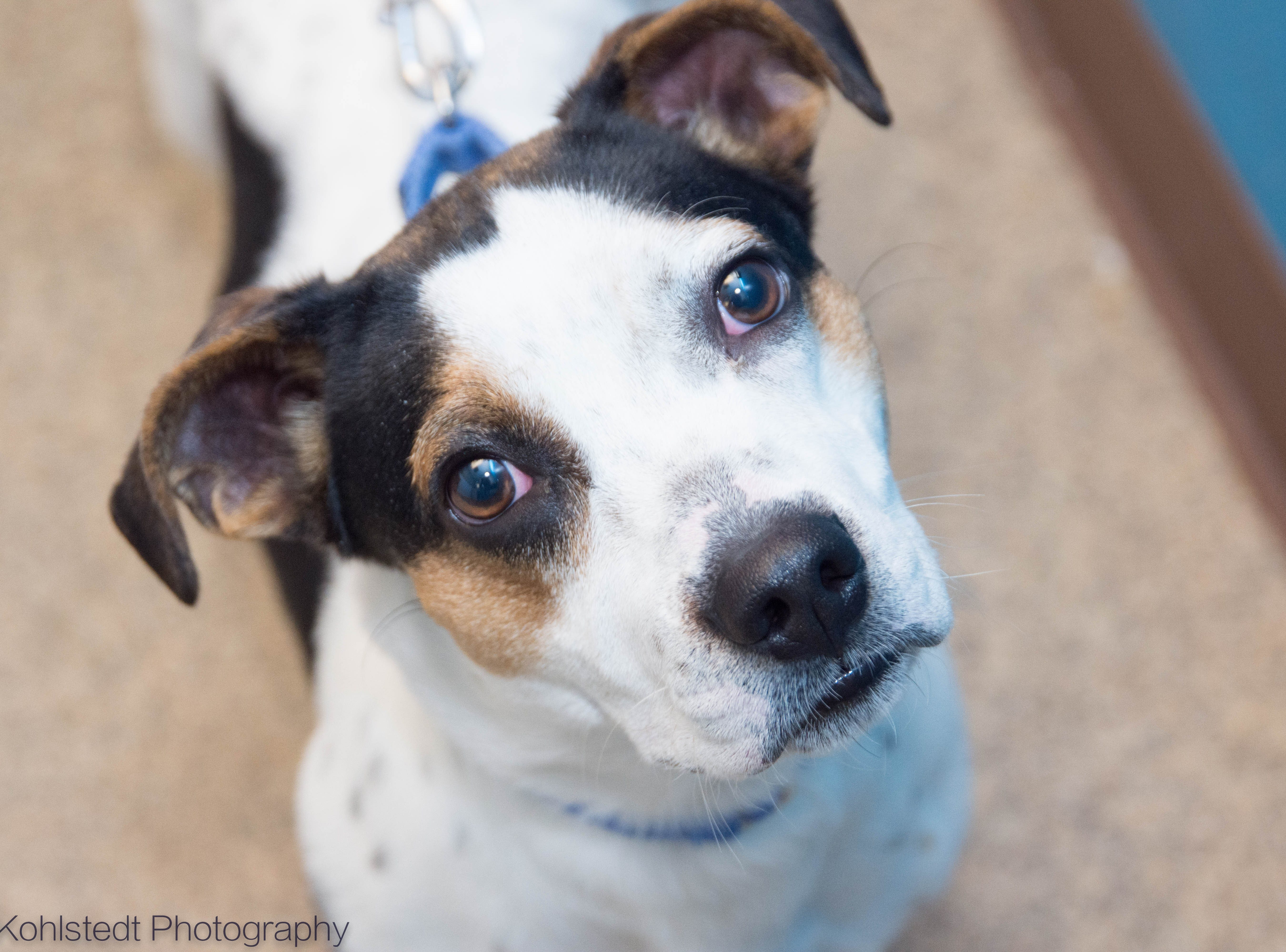 Quill is a spunky little gal. She's a pint-sized dog with a huge personality. Quill is about 2 years old. She loves to play and would do best in a home with older children. Meet Quill and all our adoptable animals at HumaneSocietyTennessee.org.