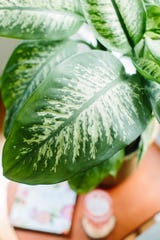 Gently washing the leaves of plants like this Dieffenbachia stops dirt and dust from clogging the leaves and allows water and sunlight to be absorbed.