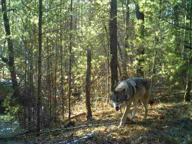 A wolf captured on a trail cam in Wisconsin as part of Snapshot Wisconsin, a citizen science project coordinated by the Department of Natural Resources.