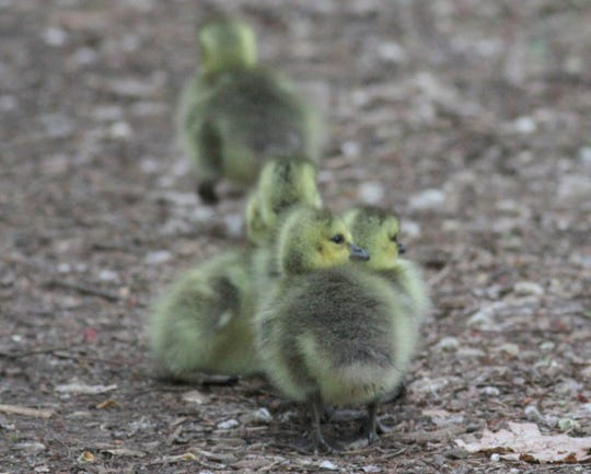 Spring means that new batches of ducklings are just down the road.