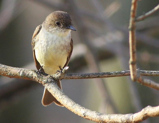 Neighborly eastern phoebes will be arriving any day, with a nest and babies soon to follow.