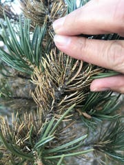 Black specks on these older, browned piñon needles at a park in Albuquerque in March 2018 are a sign of a piñon needle scale infection.