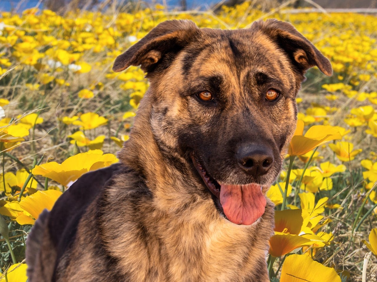 Daphnie - Female (spayed) shepherd mix, about 3 years old. Intake date: 11/22/2018