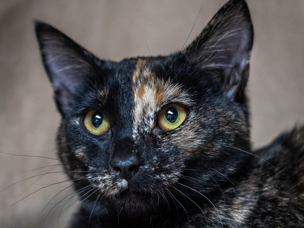 Nala - Female domestic short hair, about 1 year old. Intake date: 2/12/2019