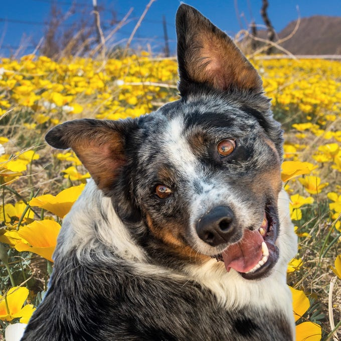 Boss - Male (neutered) Aussie/heeler mix, about 6 years old. Intake date: 9/22/2018