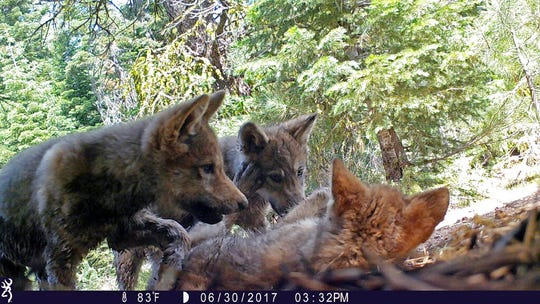 This June 30, 2017 remote camera image released by the U.S. Forest Service shows a female gray wolf and her mate with a pup born in 2017 in the wilds of Lassen National Forest in Northern California. U.S. wildlife officials plan to lift protections for gray wolves across the Lower 48 states, re-igniting the legal battle over a predator that's run into conflicts with farmers and ranchers after rebounding in some regions, an official told The Associated Press, Wednesday, March 6, 2019.