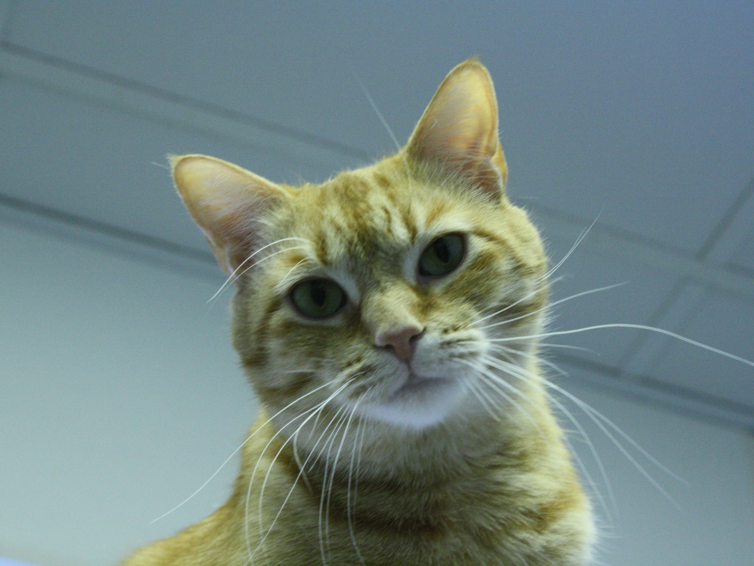 A relaxed and outgoing 4-year-old, Caesar loves to watch cat shows. He is neutered.