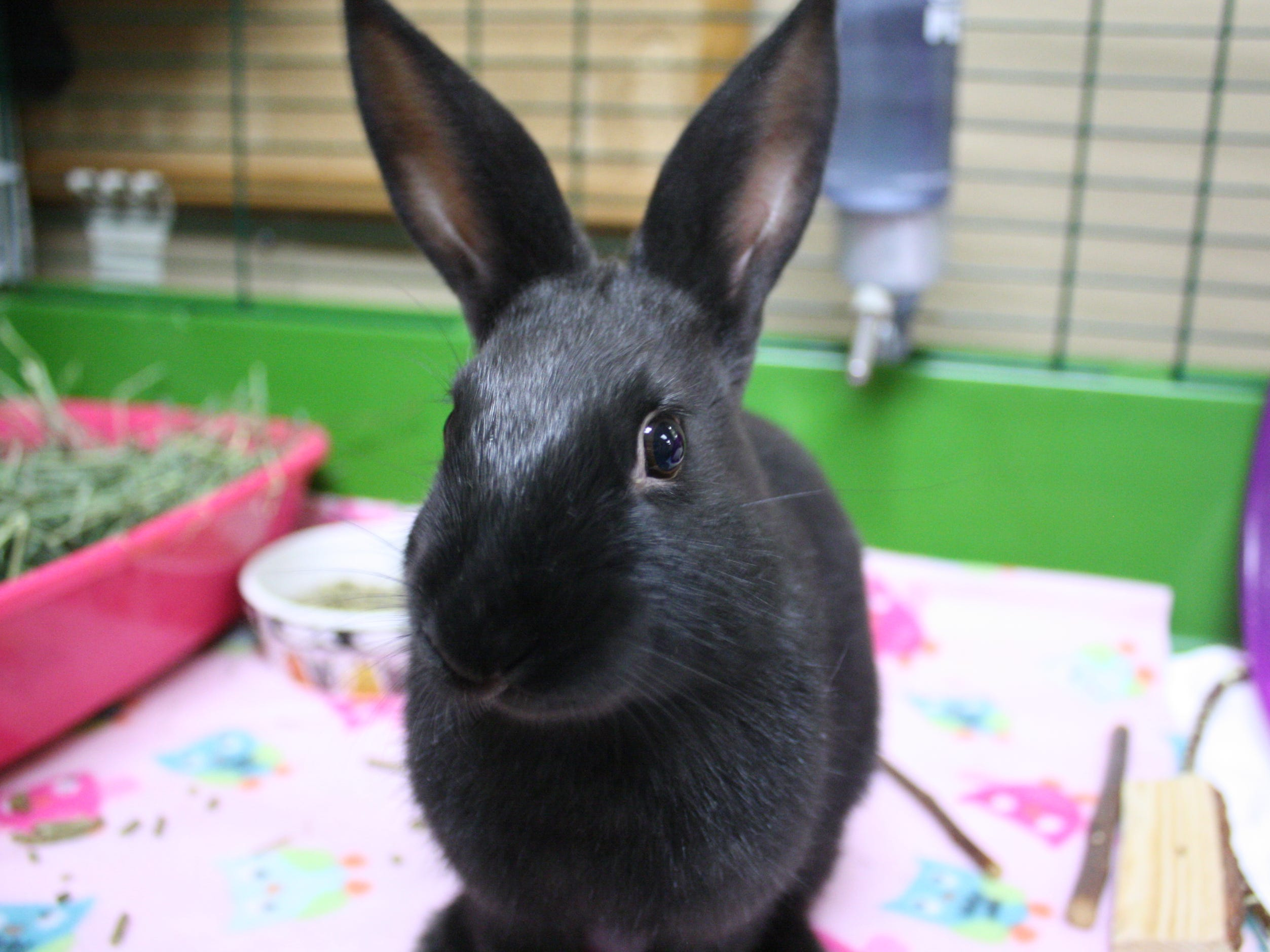 Ebony, a 2-month-old American rabbit, is cute and excited for her new home.
