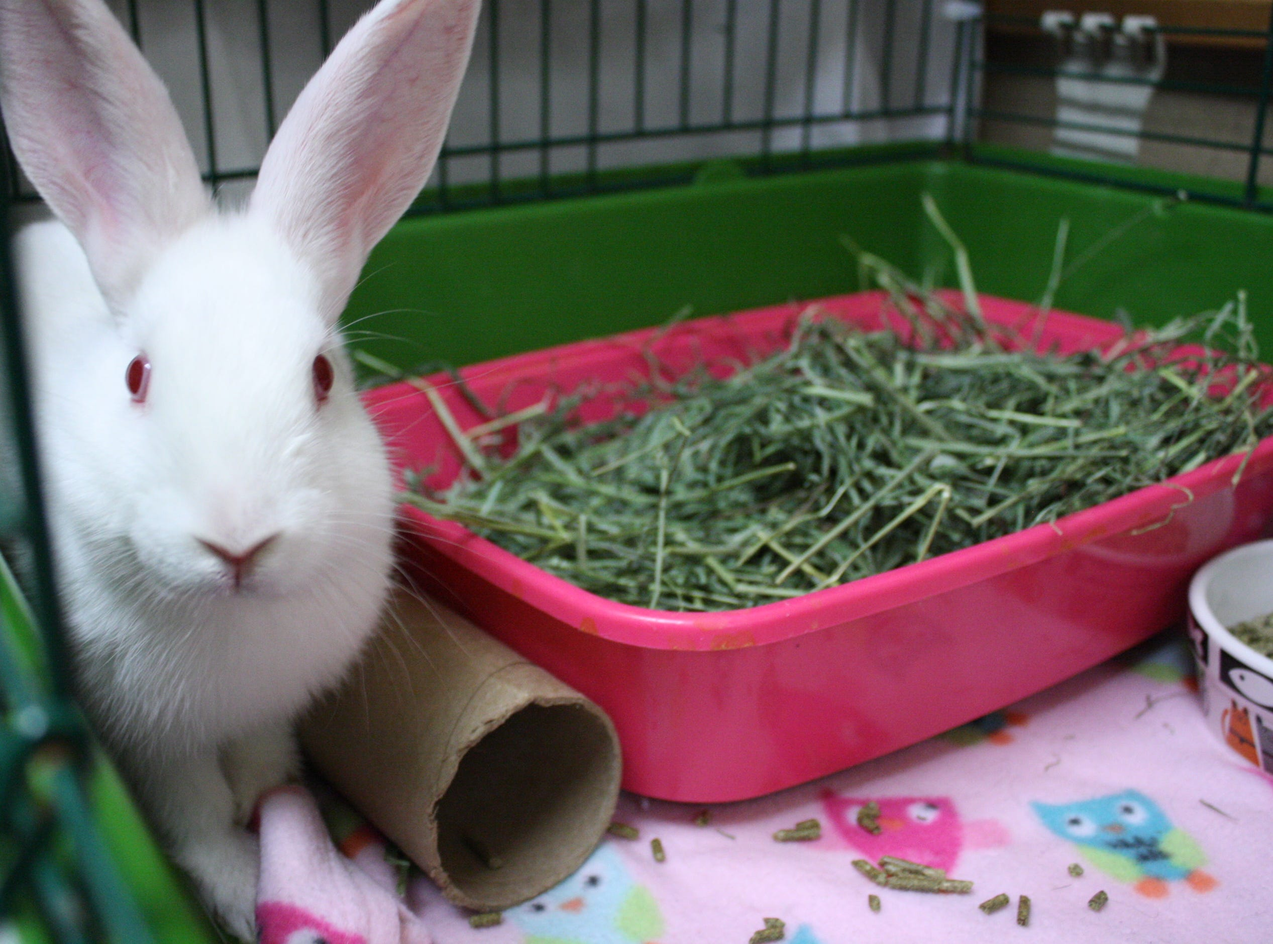 Ivory, a 2-month-old American rabbit, is sweet and hoping for a new home.