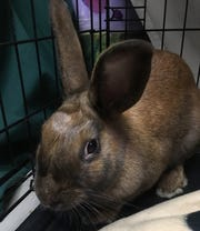Kate the rabbit was rescued from the frigid temperatures and was brought to the Oshkosh Area Humane Society. Kate is now looking for her forever home.
