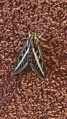 A sphinx moth.