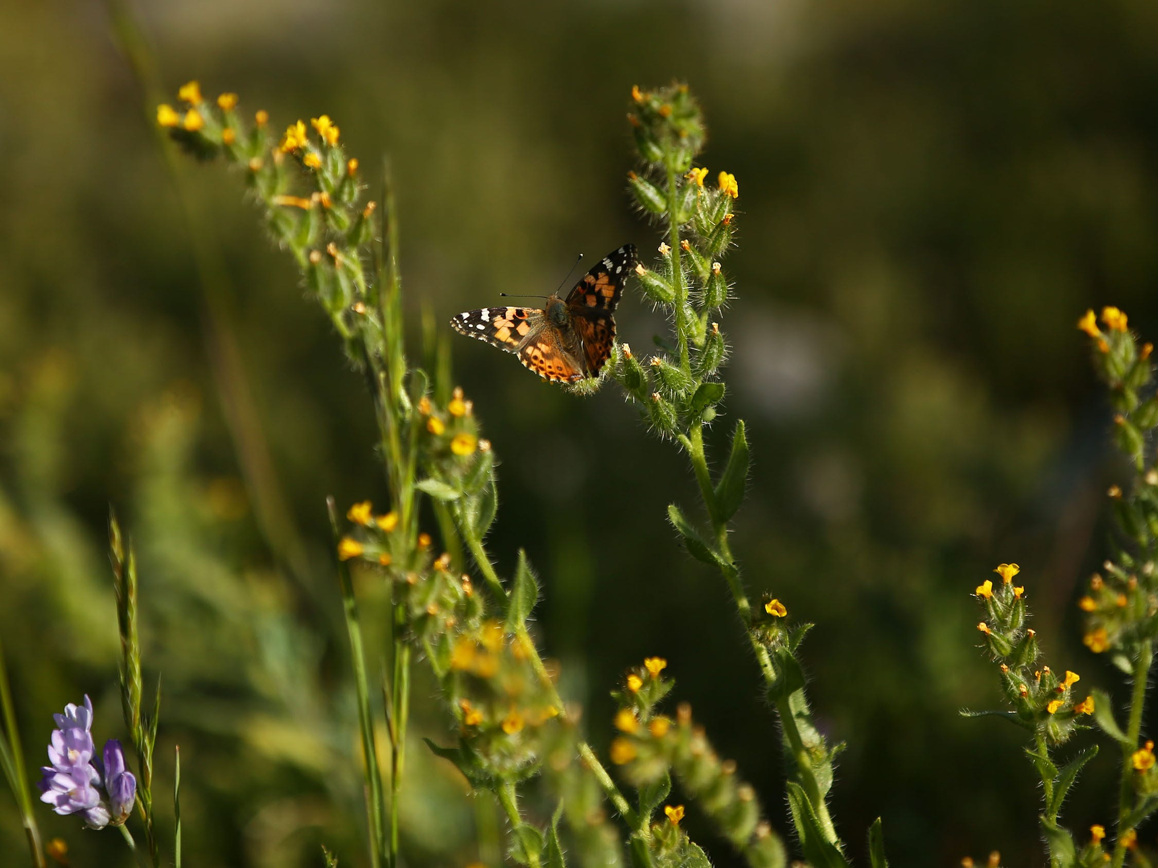 A butterfly lands on a stalk of fiddleneck bloom in South Mountain Park on March 6, 2019, in Phoenix.