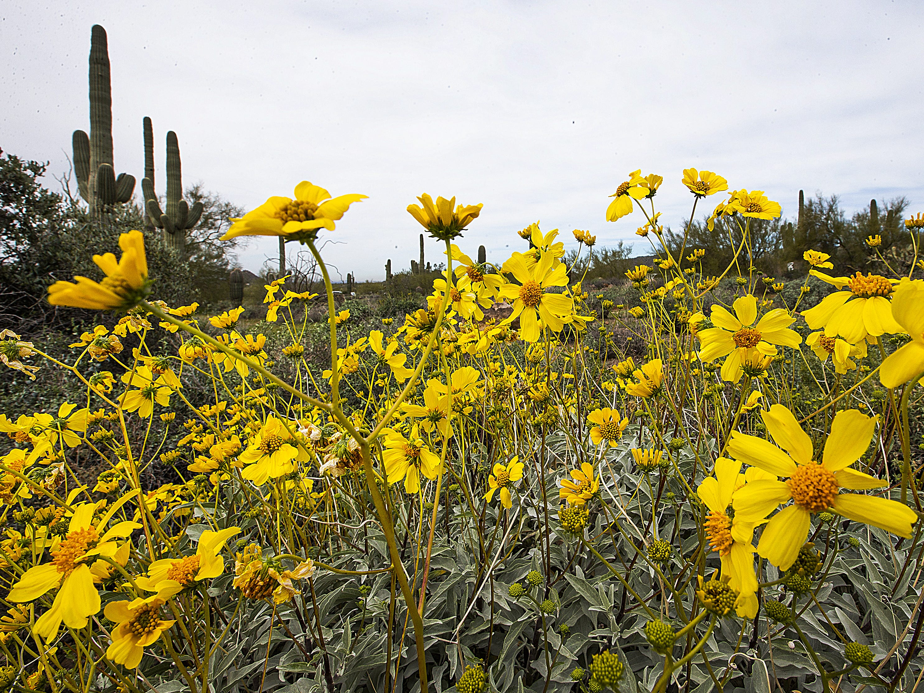 Brittlebush grows in Usery Mountain Regional Park, near the Wind Cave Trailhead, Thursday, March 7, 2019.