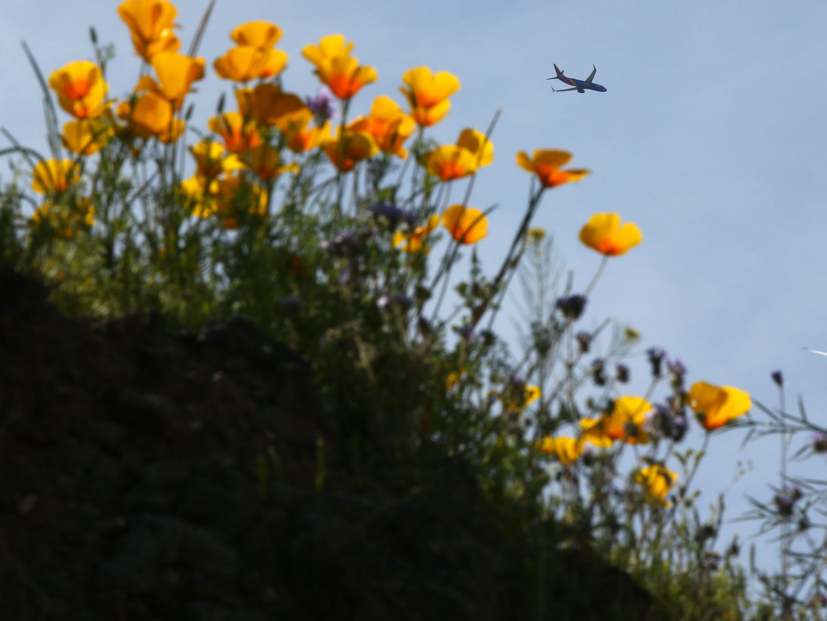 A Southwest jet flies to Sky Harbor International Airport as Mexican poppies bloom in South Mountain Park on March 6, 2019, in Phoenix.
