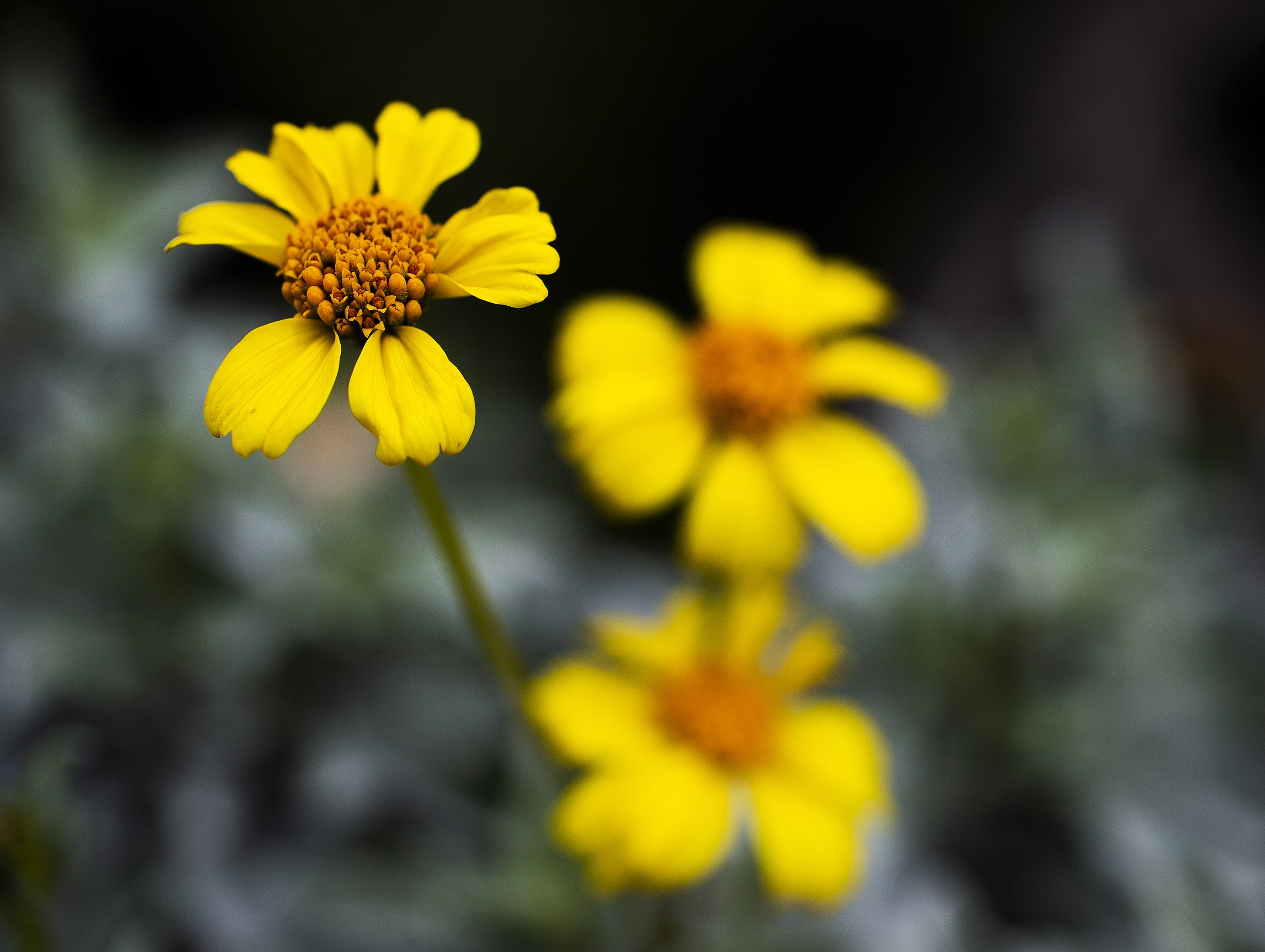 Brittlebush grows on the side of North Usery Mountain Pass Road in the Tonto National Forest, Thursday, March 7, 2019.