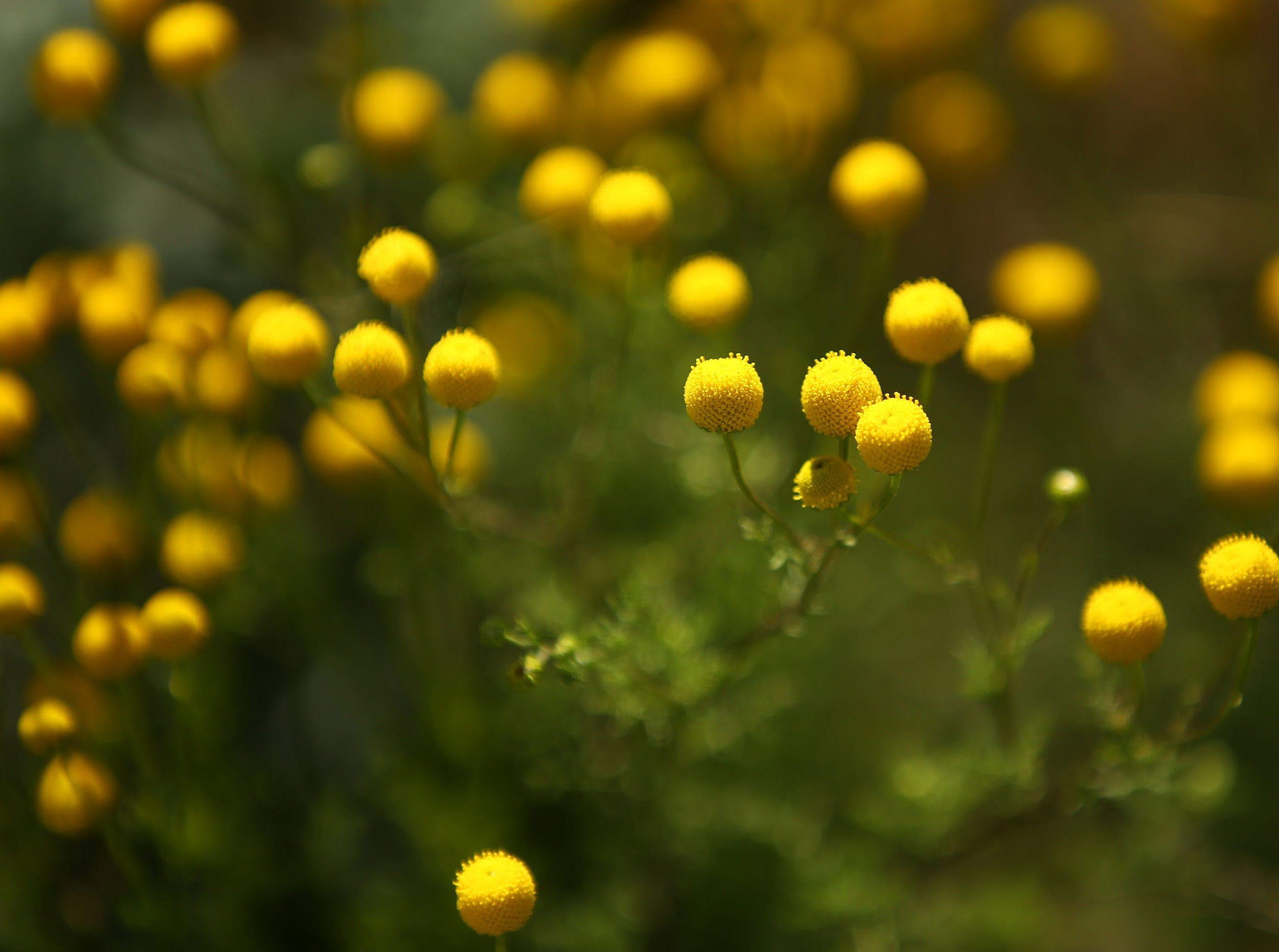 Desert wildflowers bloom in South Mountain Park on March 6, 2019, in Phoenix.