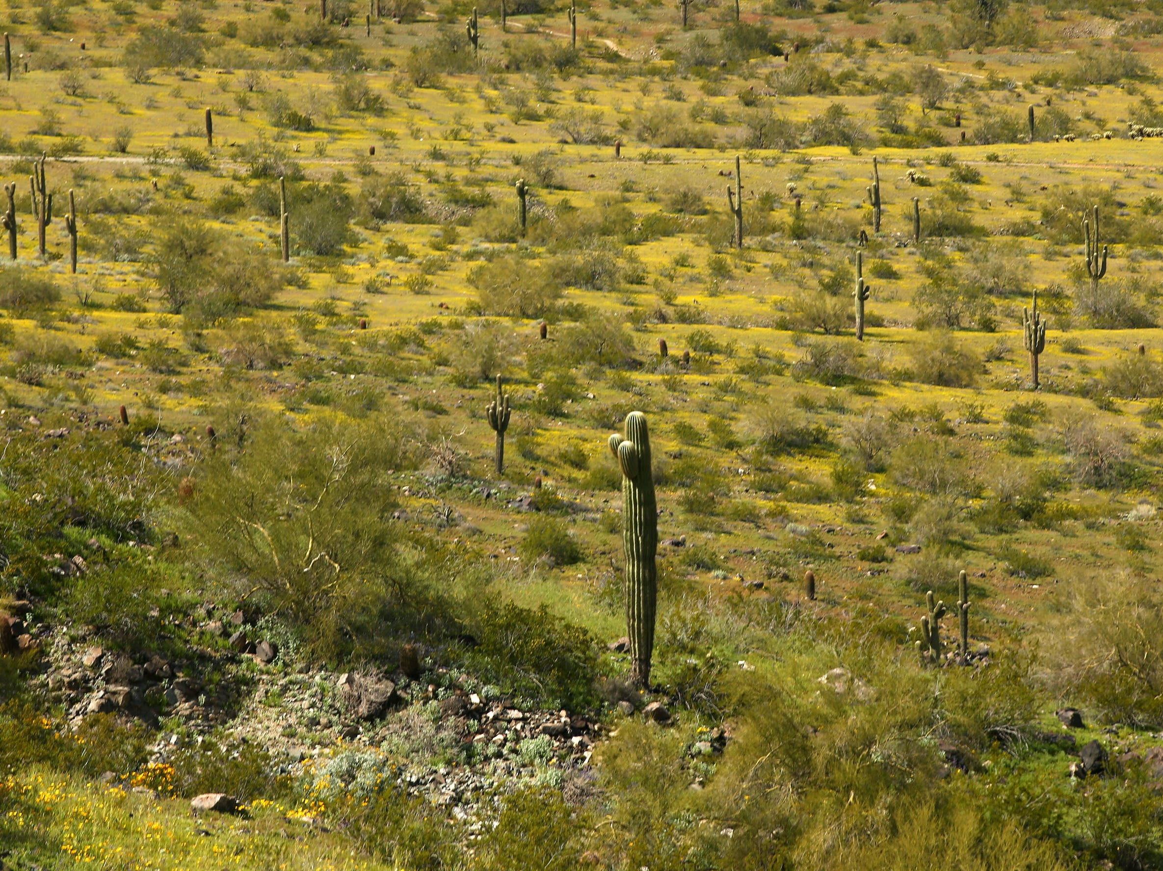 Desert wildflowers bloom in South Mountain Park on March 6, 2019, in Phoenix.