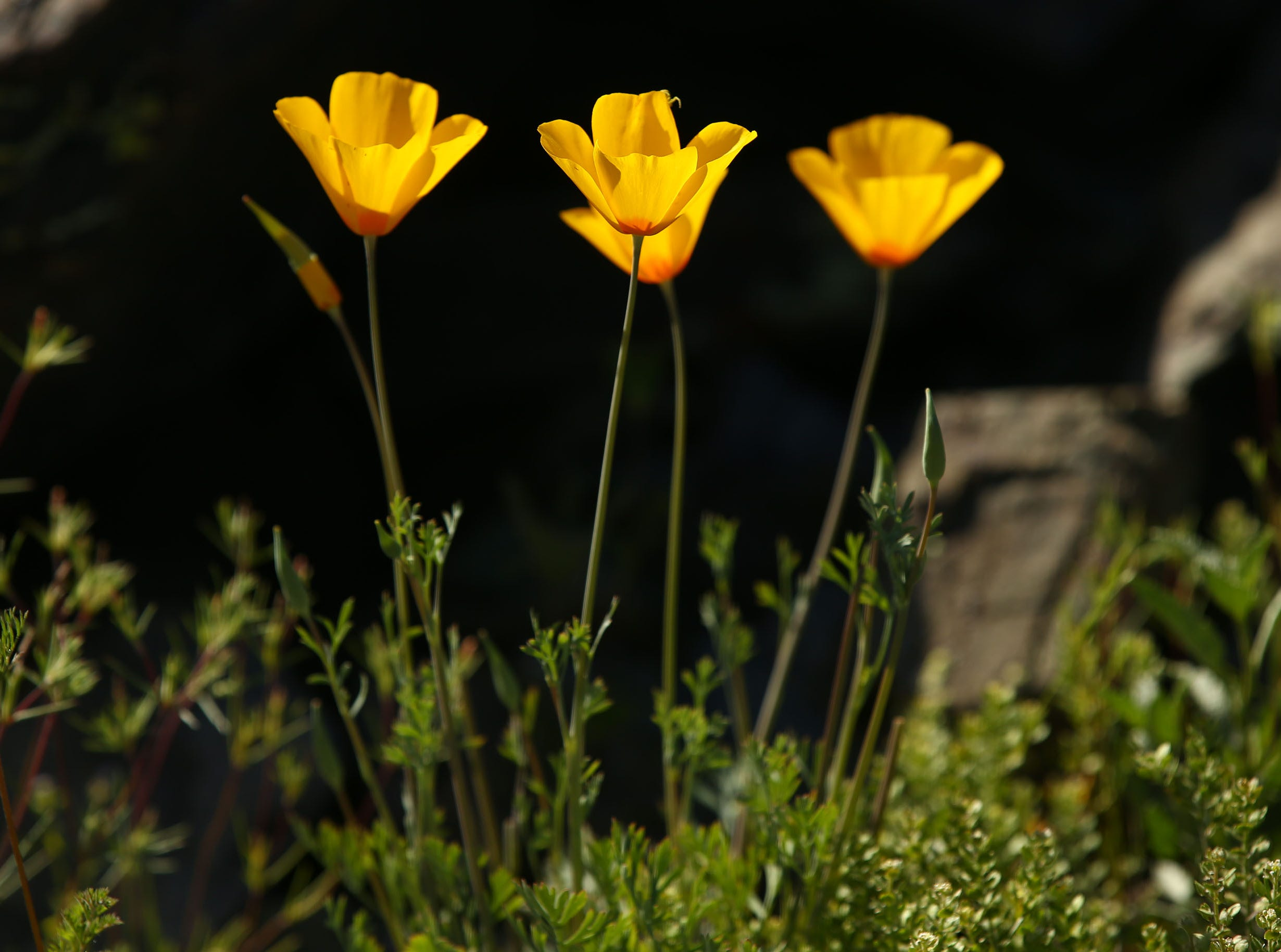 Mexican poppies bloom at the Dreamy Draw Recreation Area on March 6, 2019, in Phoenix.
