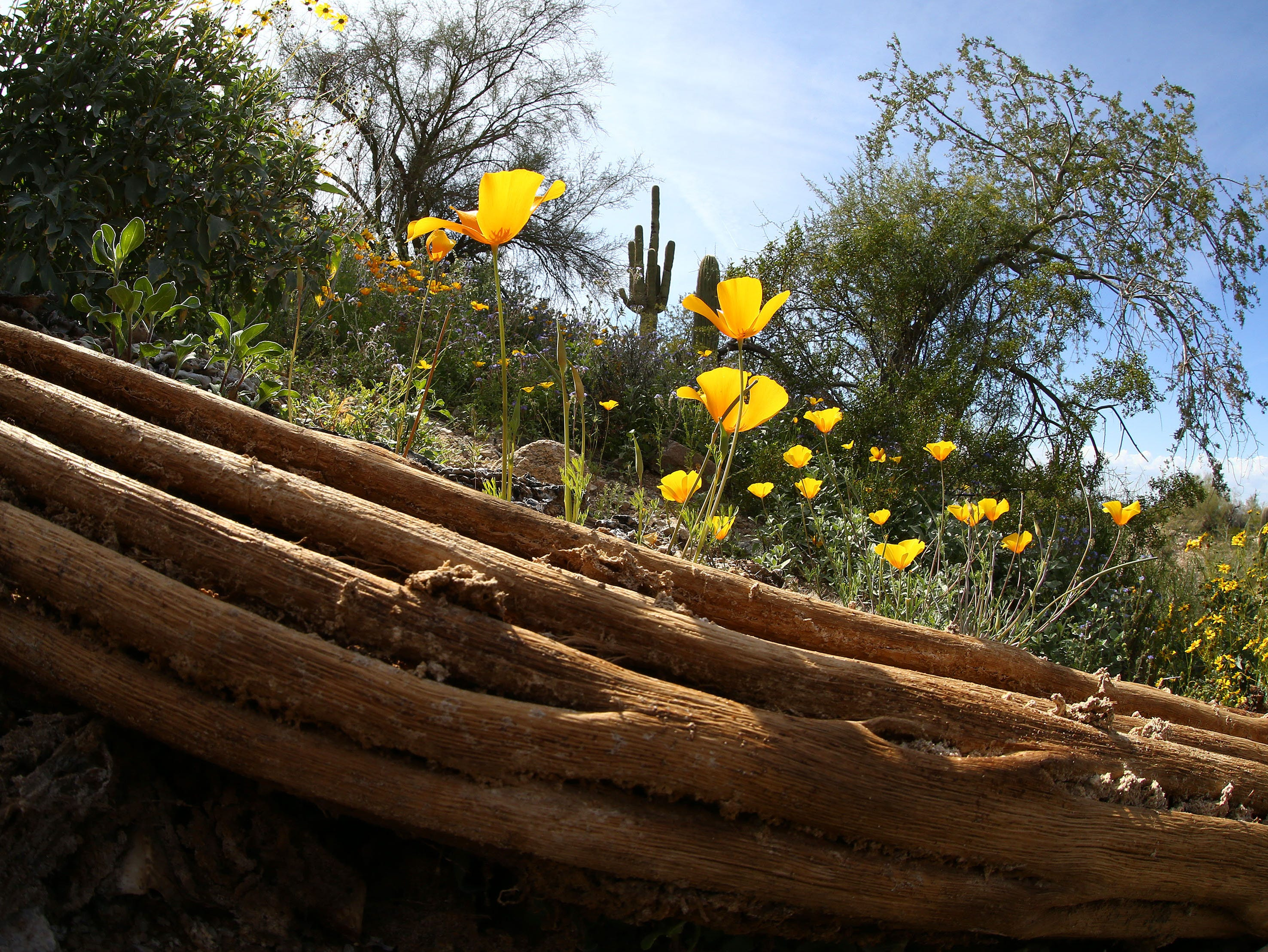 Mexican poppies bloom in South Mountain Park on March 6, 2019, in Phoenix.