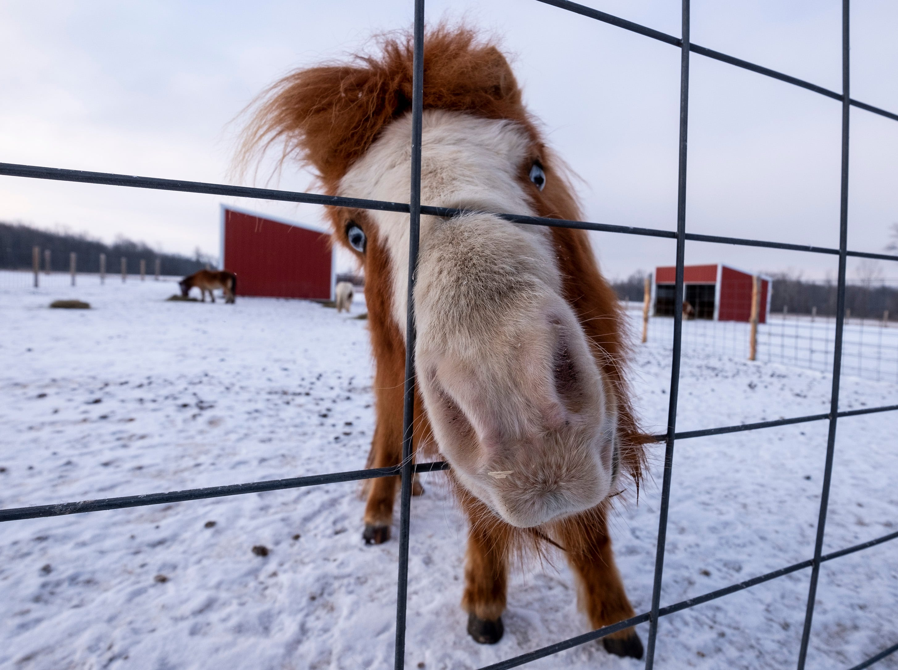 Wyatt, an 8-year-old mini horse, sticks his nose through the fence at Saving Grace Miniature Horse Rescue. Tammie Miller, the farm's owner, rescued Wyatt's mother, who was pregnant. After a year passed and Wyatt hadn't been adopted, Miller decided to adopt him for her grandkids.