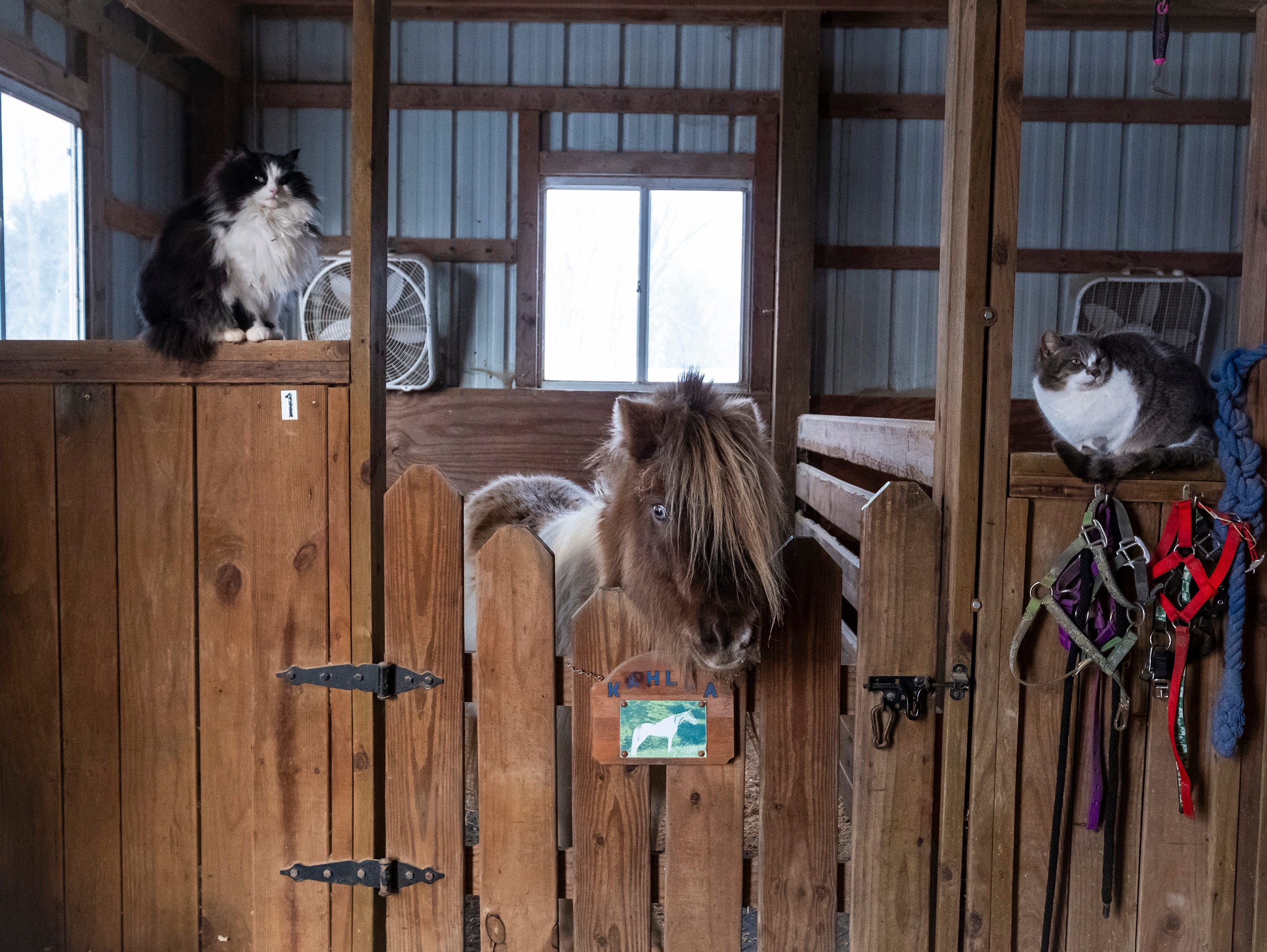 Two of the seven barn cats at Saving Grace Miniature Horse Rescue sit on the walls of a stall next to Kahlua, one of the farm's rescues.