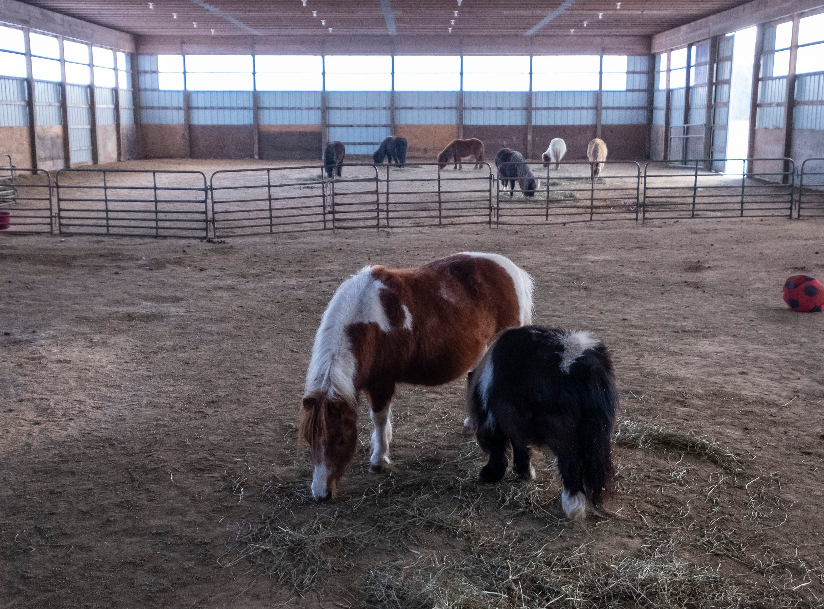 "Mama, a 14-year-old rescue, eats with her daughter Bubbles, another dwarf rescued by Tammie Miller. Mama had one eye removed due to equine uveitis. The eye atrophied, which caused an ulcer. ""She was a different horse that night,"" said Miller. ""I couldn't get near that side of her face... The pain had to be so bad, and finally she felt relief."" Mama was rescued with Bubbles from Wisconsin."