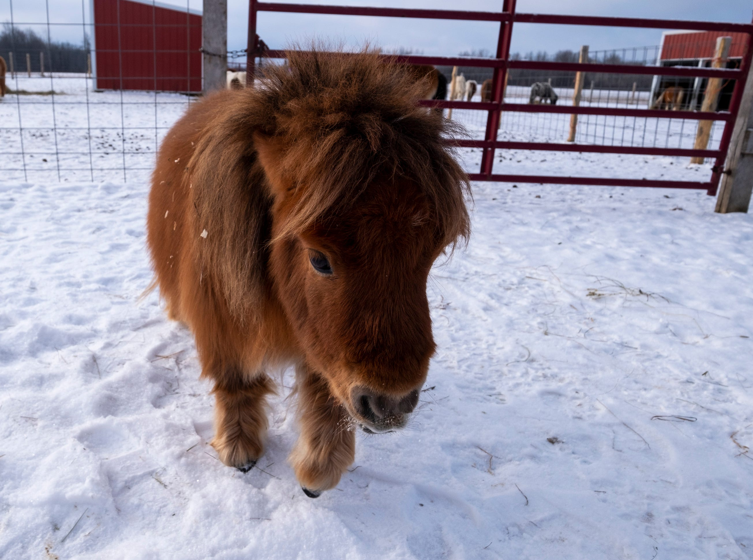 Miller said people want to adopt the dwarf miniature horses to keep them inside as pets, not knowing about the health problems that can be caused by dwarfism. The animal's organs are the same size as a full-grown miniature horse, but inside a smaller body, and often have a significantly shorter lifespan.