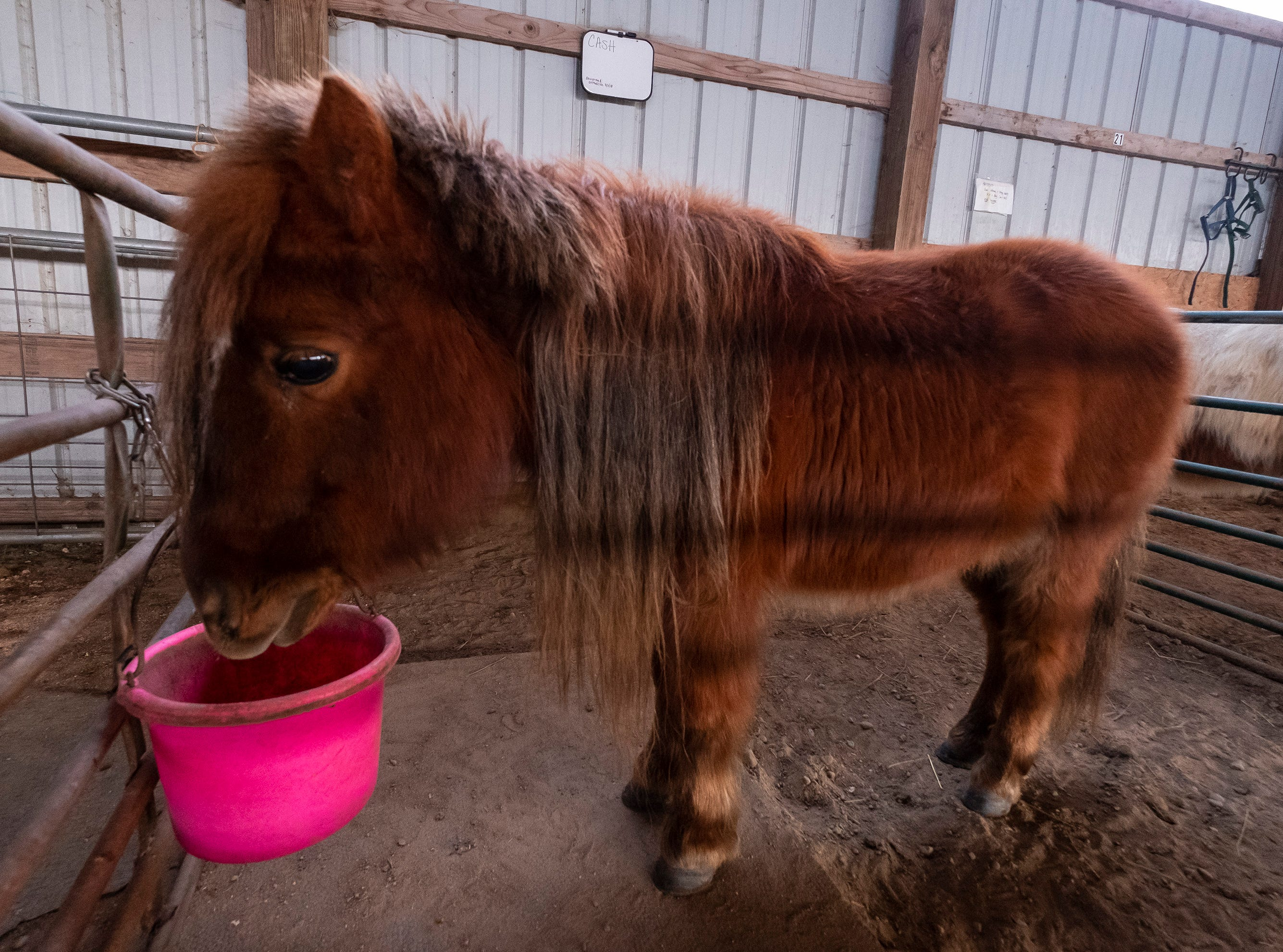 "Cash, one of the miniature horses rescued by Tammie Miller, eats in one of the barn's pens. Cash was rescued about a year ago from a kill pen in New Jersey. Miller says his name is indicative of what it took to bring him from New Jersey to her farm in Emmett, as he was one of the farm's most expensive rescues. ""He's handsome,"" said Miller. ""I can't believe he's still here... he'd make a great show horse."""
