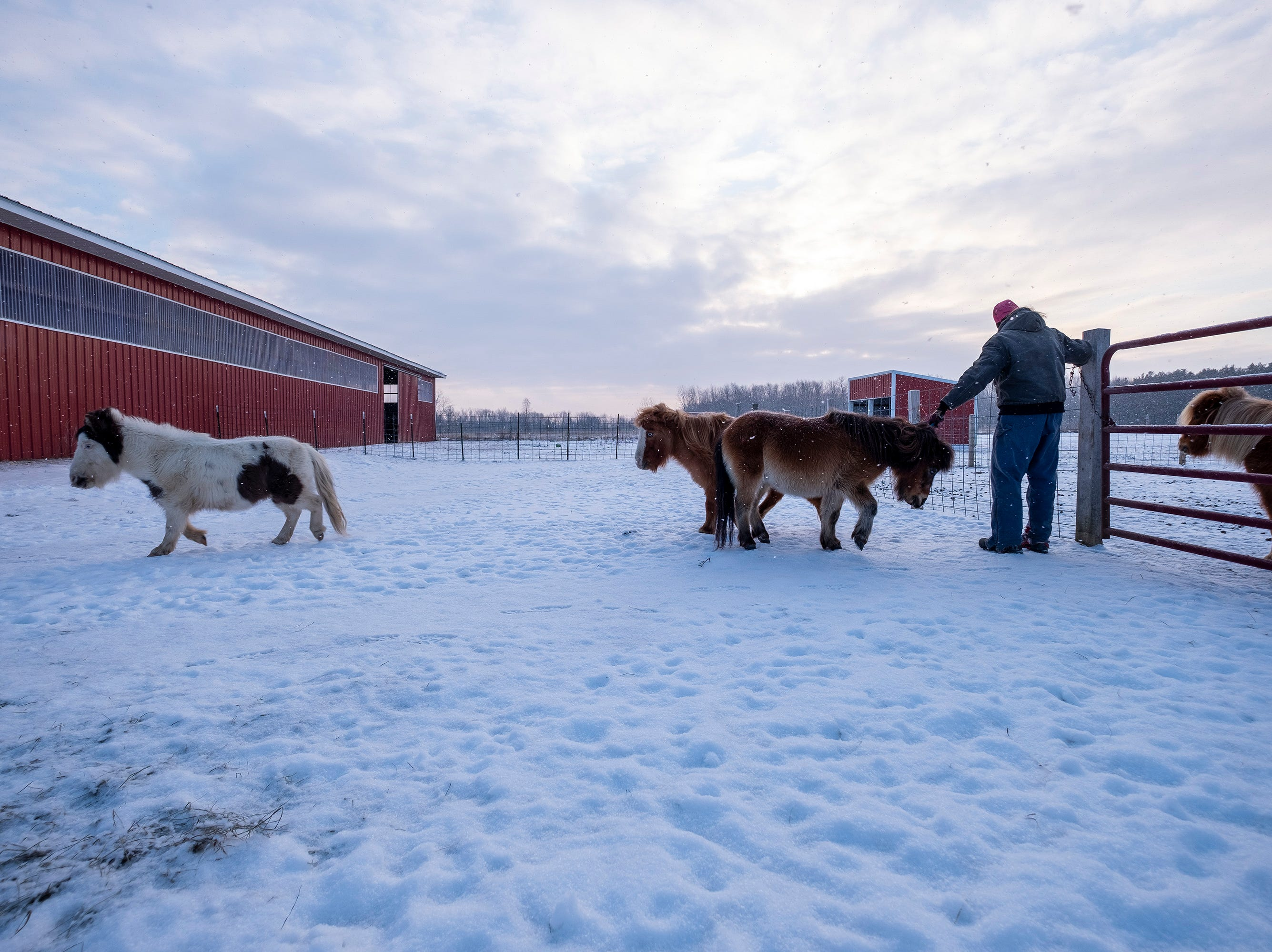 "As the sun begins to break through early-morning clouds, Tammie Miller, owner of Saving Grace Miniature Horse Rescue in Emmett, releases a group of mini horses to go into the barn for their morning feeding. Miller first got into miniature horses in 2002 after being injured in a car accident in 1999 that left her unable to ride. She says she discovered miniature horses and was hooked. In 2014, the rescue organization she was working for closed down and she decided to start her own. ""I just love the miniature horses,"" said Miller. ""They make me happy."""