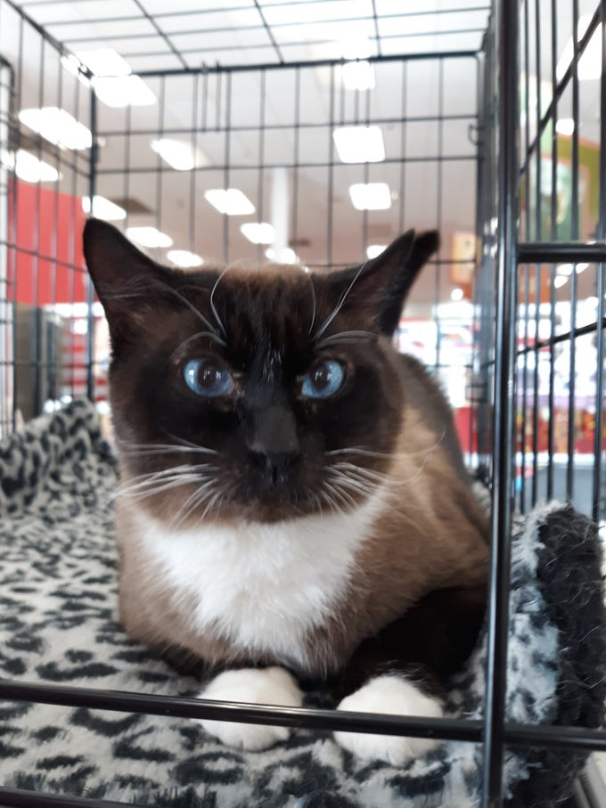 Sox is a 5-year-old Siamese blend. He is affectionate, neutered, tested and up to date on all vaccines. All animal adoptions include spaying or neutering and vaccinations. Apply with Another Chance Animal Welfare League at www.acawl.org. Call 356-0698.