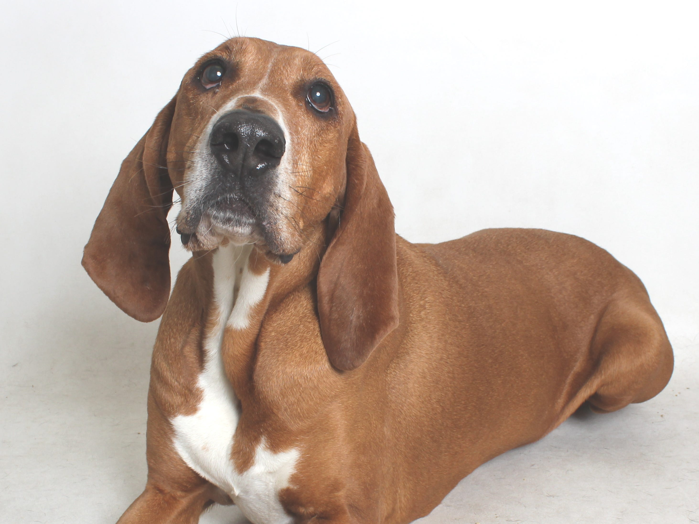 Copper (#126224) is a 7-year-old Redbone coonhound. He is a typical hound, smart, loyal and follows his nose. All feline and canine adoptions include spaying or neutering, vaccinations and a microchip. Visit Haven Humane Society, 7449 Eastside Road, Redding. Call 241-1653. Go to www.havenhumane.net.