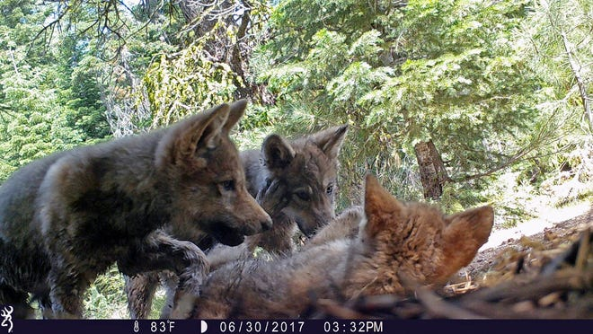 This June 30, 2017 remote camera image released by the U.S. Forest Service shows a female gray wolf and her mate with a pup born in 2017 in the wilds of Lassen National Forest in Northern California.