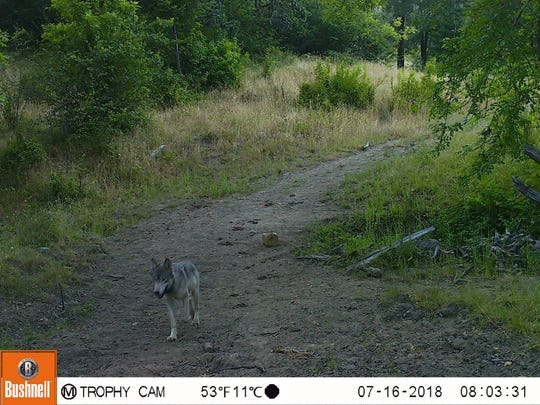 This small wolf was picture on a remote trailcam in the Pistol River area by Oregon Hunters Association Chetco chapter vice president Dave Green.